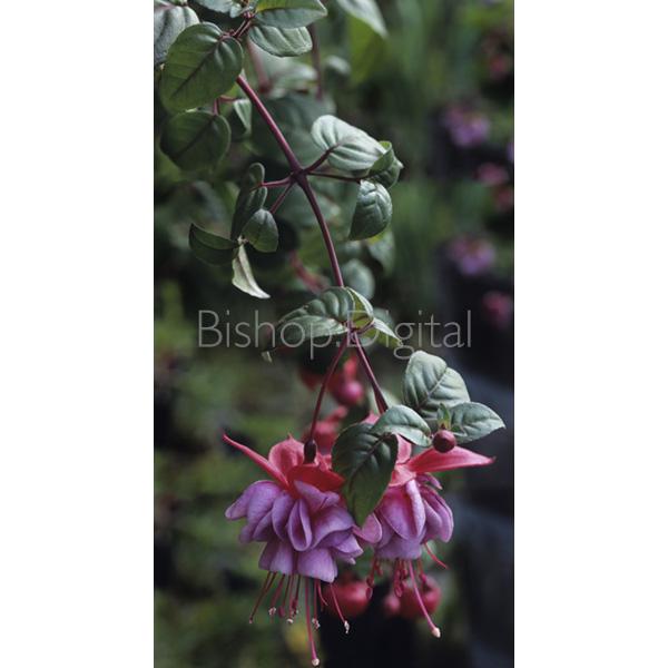 Dangling Fuchsia