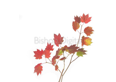 Vine Maple Tree Branch