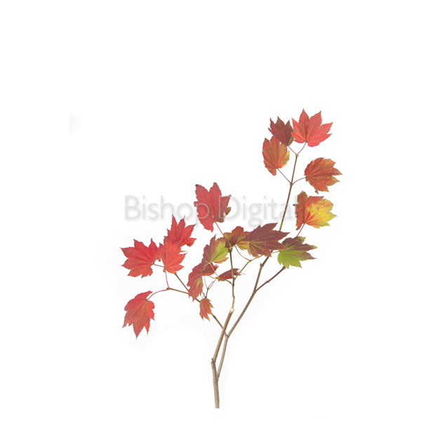 Vine Maple Tree Branch