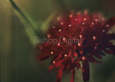 Maroon Knautia Flower
