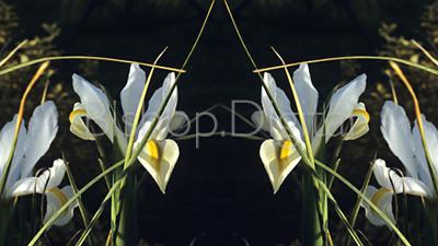 White Iris Mirror Reflection